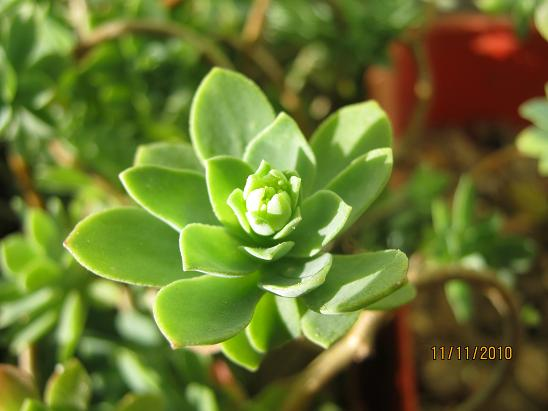 Name:  sedum palmeri.JPG