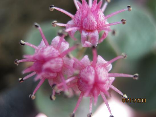 Name:  sedum sieboldii çiçek.JPG Views: 3936 Size:  37.7 KB