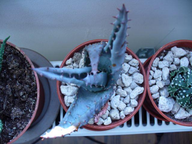 Name:  Aloe Brevifolia.jpg Views: 951 Size:  48.0 KB