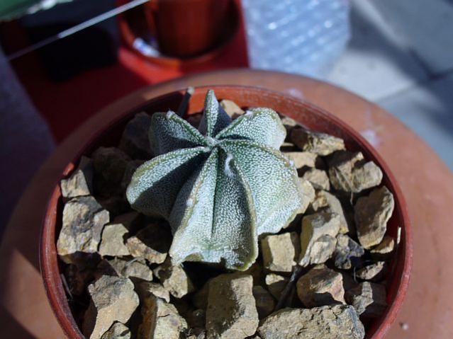 Name:  Astrophytum myriostigma.jpg Views: 592 Size:  46.6 KB