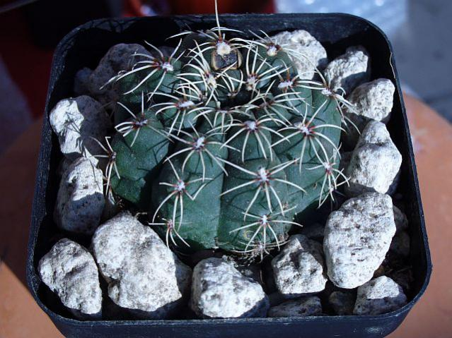 Name:  Gymnocalycium baldianum.jpg Views: 625 Size:  64.9 KB