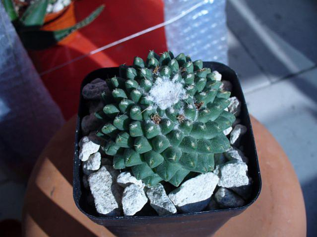 Name:  Mammillaria hidalgensis.jpg Views: 842 Size:  42.1 KB