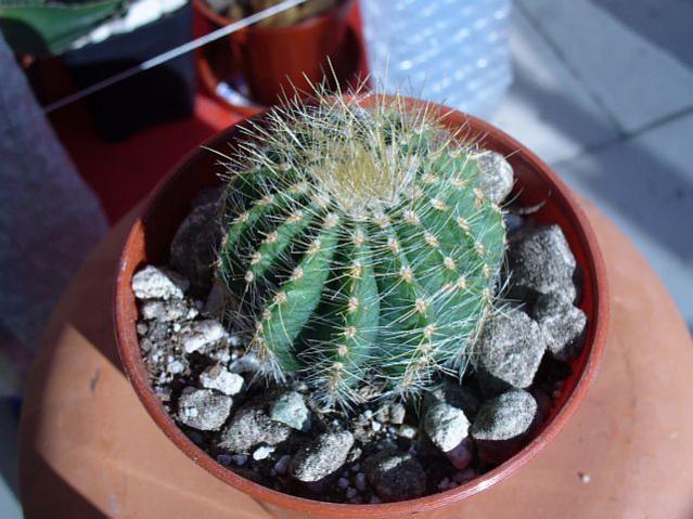 Name:  Notocactus (eriocactus) warasii.jpg Views: 946 Size:  53.9 KB
