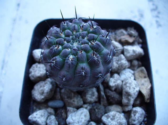 Name:  Sulcorebutia steinbachii 2.jpg Views: 583 Size:  40.2 KB