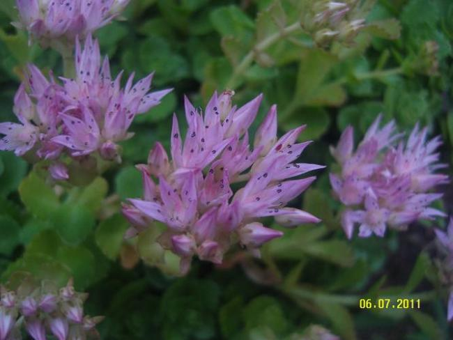 Name:  Sedum spurium2.jpg
