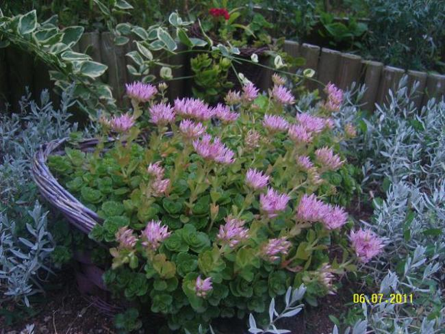 Name:  Sedum spurium1.jpg