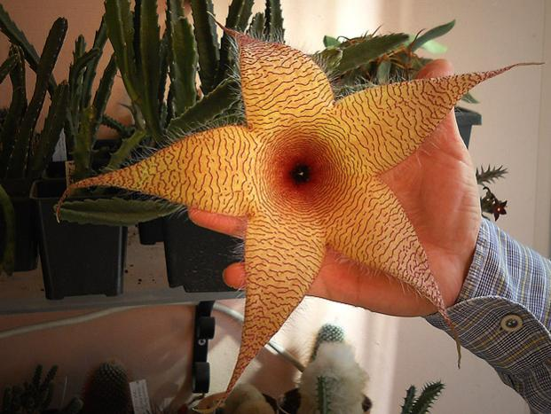 Name:  stapelia gigantea 3.jpg