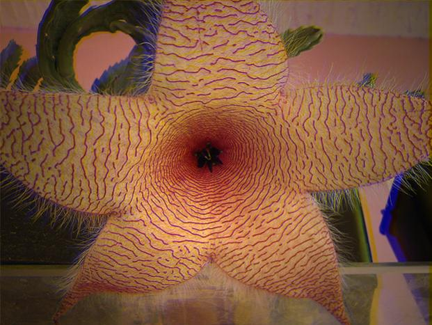 Name:  stapelia gigantea 3D.jpg