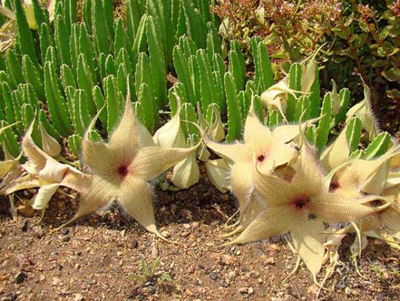 Name:  stapelia gigantea in habitat.jpg