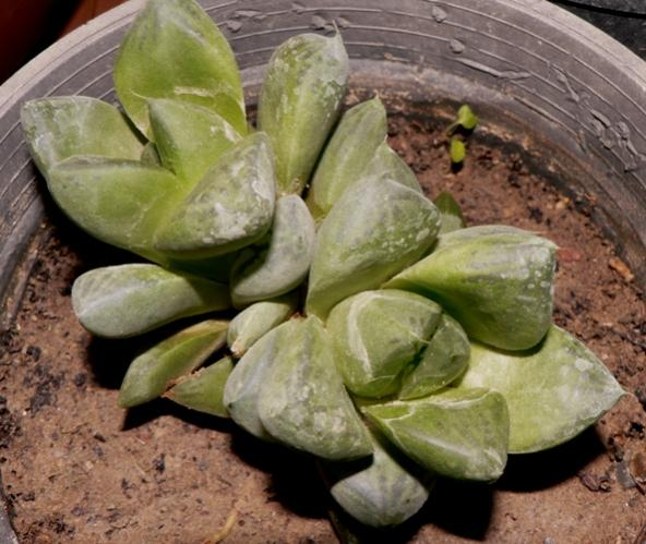 Name:  haworthia cuspidata.jpg