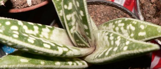 Name:  aloe variegata.jpg