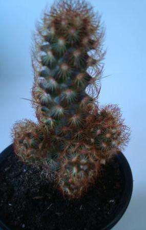 Name:  Mammillaria elongata.JPG Views: 1867 Size:  35.8 KB
