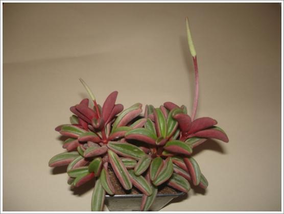 Name:  peperomia graveolens.jpg Views: 1590 Size:  23.0 KB