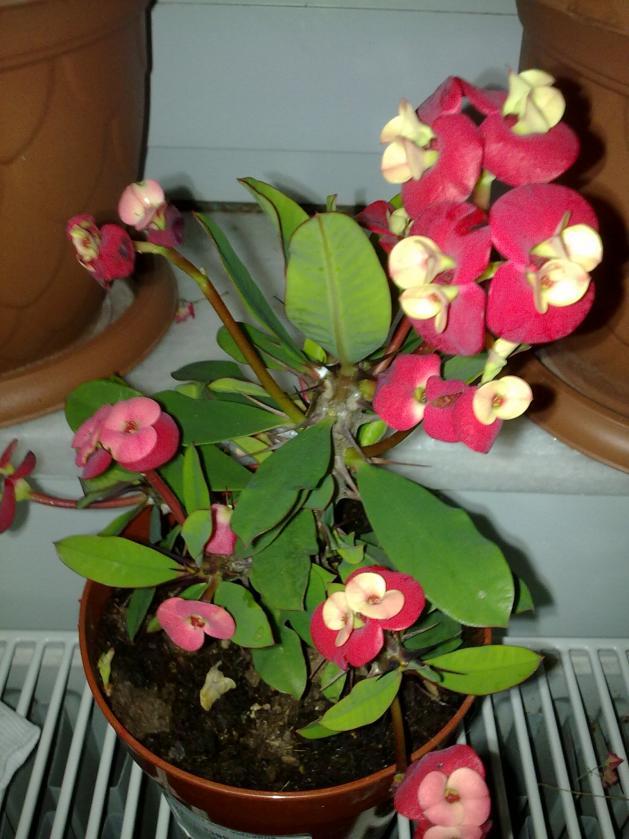 Name:  Euphorbia milii vulcanus.jpg Views: 6563 Size:  70.6 KB
