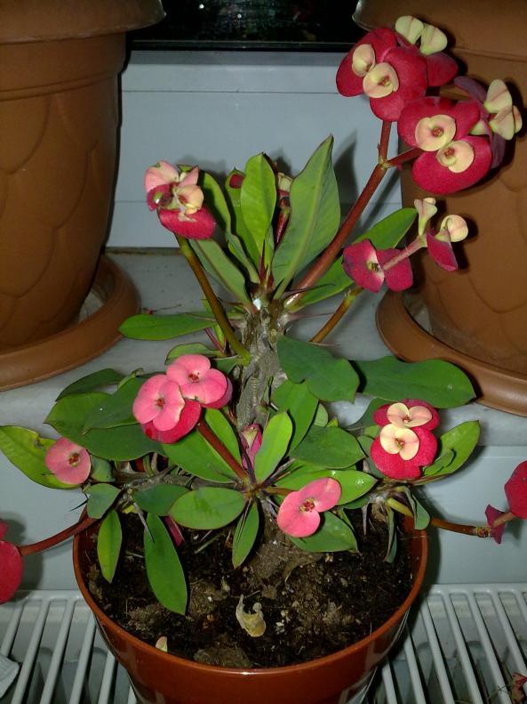 Name:  Euphorbia milii vulcanus..jpg Views: 5872 Size:  72.5 KB