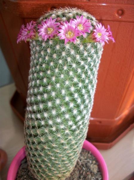 Name:  Mammillaria matudae.jpg Views: 1424 Size:  48.5 KB