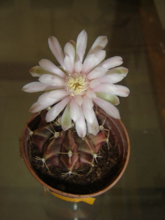 Name:  gymnocalycium rotundulum.jpg Views: 1396 Size:  44.1 KB