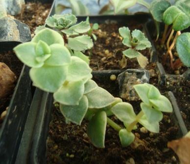 Name:  Crassula pellucida .JPG Views: 1655 Size:  41.1 KB