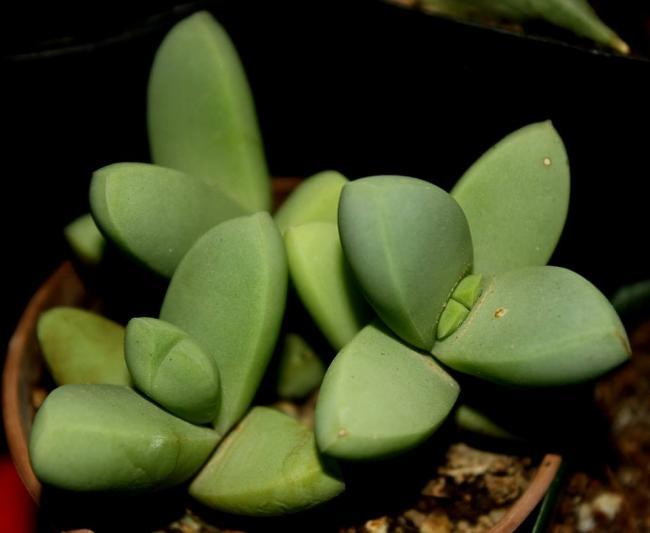 Name:  Corpuscularia Lehmannii.jpg Views: 929 Size:  27.3 KB
