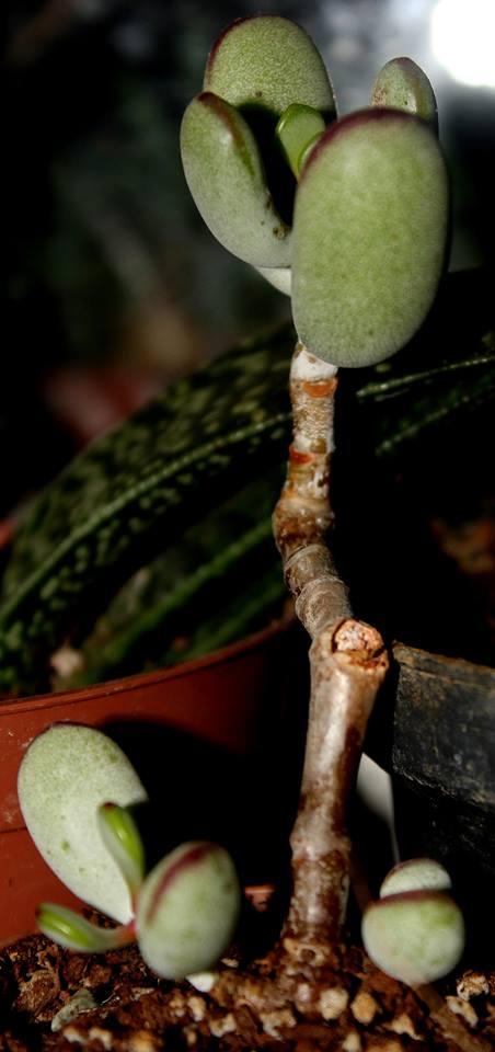 Name:  Cotyleton Orbiculata Higginsiae.jpg Views: 862 Size:  46.4 KB