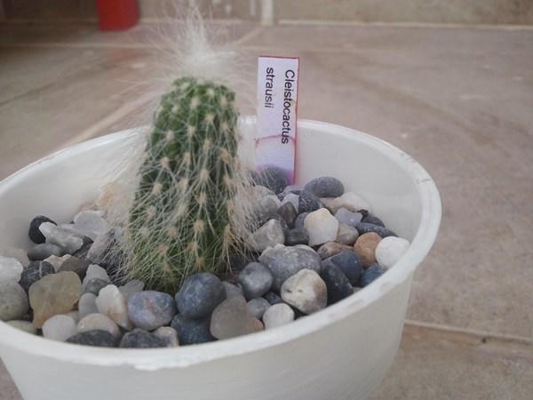 Name:  cleistocactus strausii.jpg Views: 1465 Size:  50.0 KB