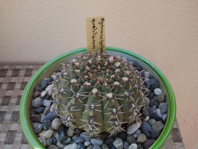 Name:  Gymnocalycium quehlianum.jpg Views: 1469 Size:  49.8 KB
