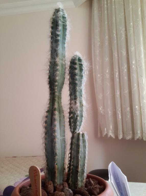Name:  pilosocereus.jpg