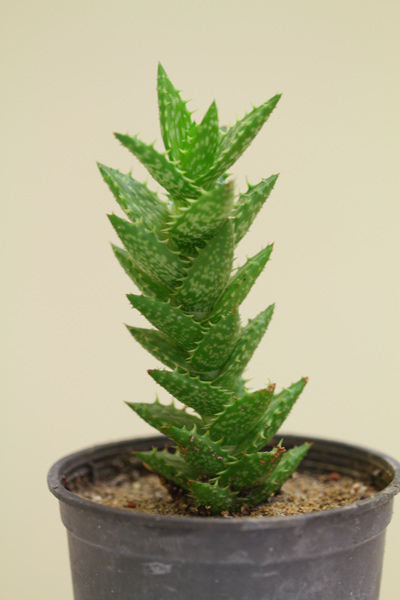 Name:  Aloe-squarrosa.jpg