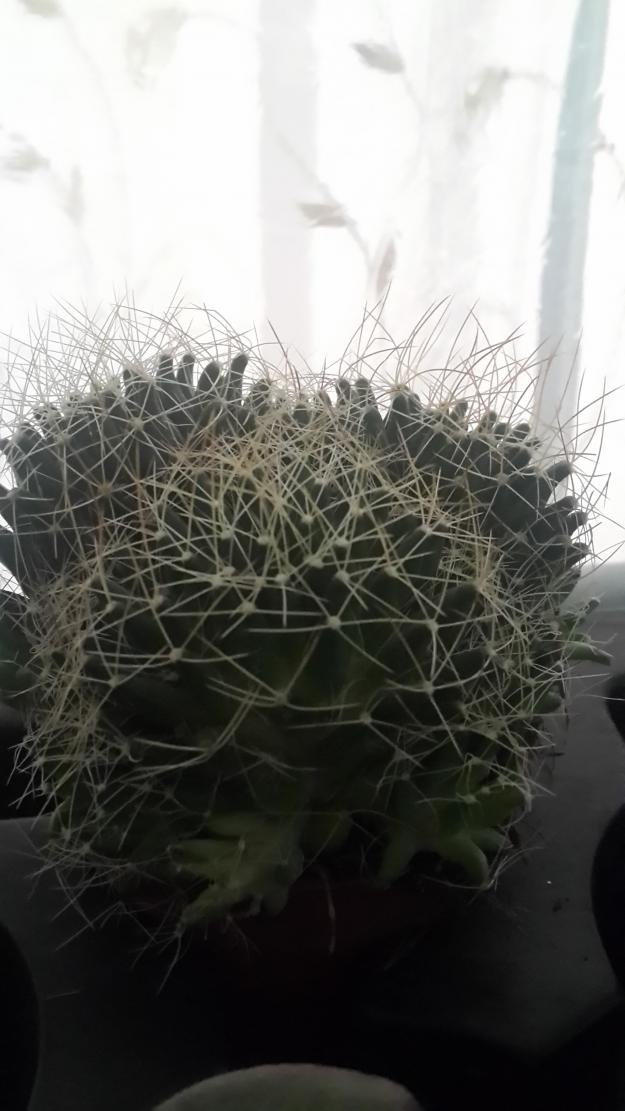Name:  Mammillaria surculosa.jpg