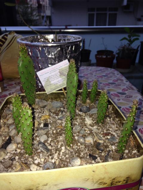 Name:  KaktusInciri.jpg Views: 299 Size:  54.9 KB
