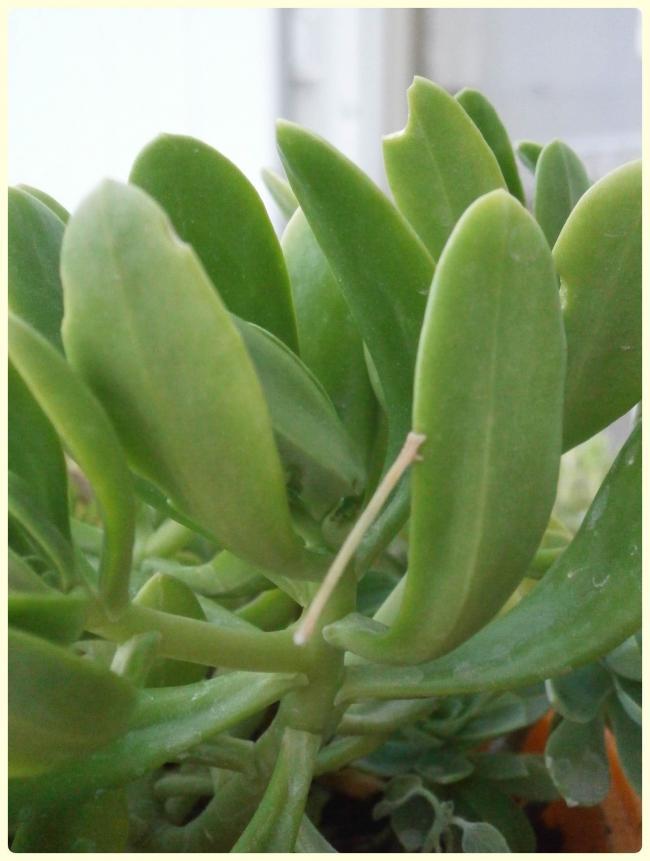 Name:  Sedum dendroideum.jpg Views: 1687 Size:  49.9 KB