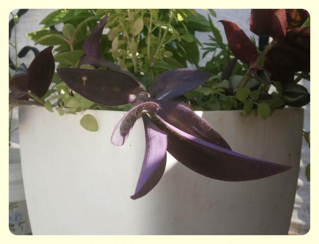 Name:  Tradescantia pallida - Mor Telgraf Çiçeği.jpg Views: 1315 Size:  32.0 KB