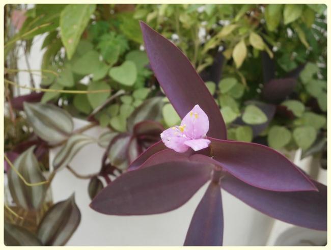 Name:  Mor Telgraf Çiçeği (Tradescantia pallida).jpg Views: 1316 Size:  36.2 KB