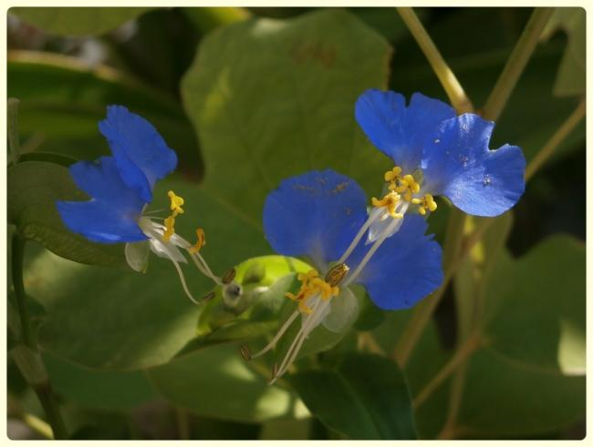 Name:  Commelina communis - Yabani Telgraf Çiçeği, Asya Gün Çiçeği (2).jpg Views: 1207 Size:  29.4 KB