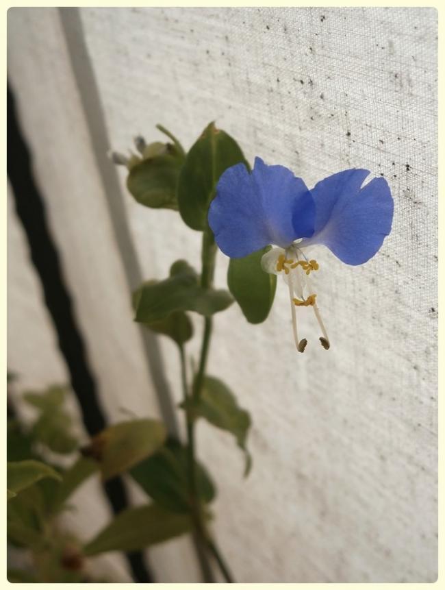 Name:  Commelina communis - Yabani Telgraf Çiçeği, Asya Gün Çiçeği.jpg Views: 1252 Size:  51.6 KB