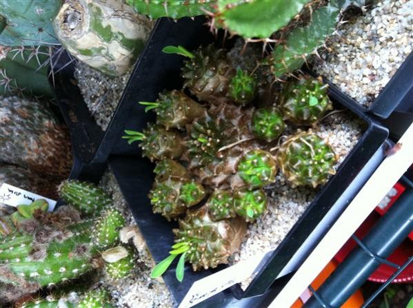 Name:  Euphorbia 2013 (600 x 448).jpg Views: 1405 Size:  62.2 KB