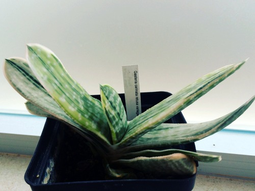Name:  Gasteria carinata retusa variegata 2016.JPG