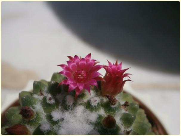 Name:  Mammillaria polythele inermis - flowers.jpg Views: 188 Size:  25.4 KB