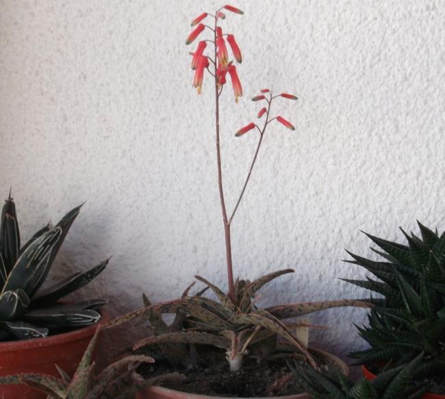 Name:  Aloe Pink Blush.jpg Views: 315 Size:  49.4 KB