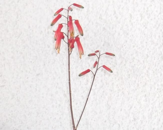 Name:  Aloe Pink Blush (2).jpg Views: 309 Size:  32.4 KB