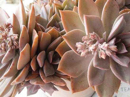 Name:  graptopetalum pink-.jpg Views: 443 Size:  38.7 KB
