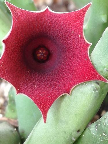 Name:  huernia---.jpg Views: 341 Size:  32.7 KB