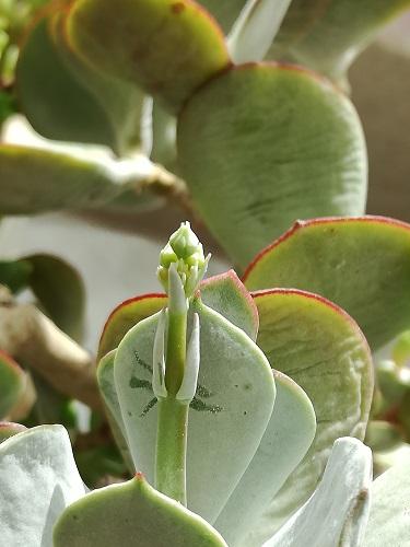 Name:  c. orbiculata.jpg Views: 270 Size:  62.1 KB