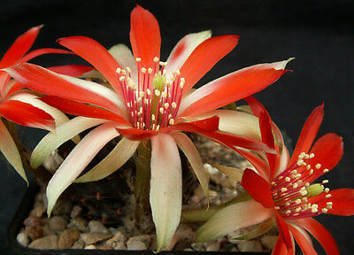 Name:  1421-Mediolobivia-subthutiana-TWO-COLOURS-FLOWERS-cactus.jpg