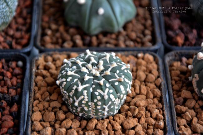 Name:  Astrophytum Asterias super kabuto v-type.jpg