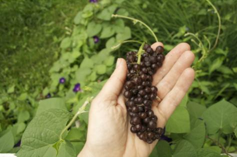 Name:  grapes-in-hand-475.jpg