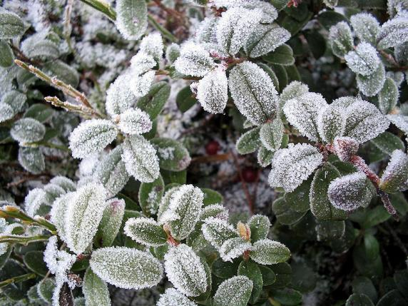 Name:  800px-Icy_LingonBerry.jpg Views: 3137 Size:  72.4 KB