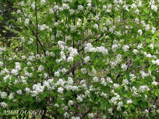 Name:  saskatoon bush.jpg Views: 1510 Size:  74.6 KB