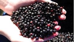 Name:  lens3718162_1238461481maqui-berries-in-hand.jpg Views: 2070 Size:  38.6 KB
