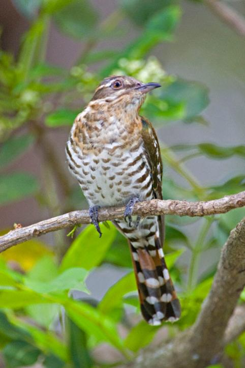 Name:  Dideric-Cuckoo-0008.jpg Views: 15041 Size:  43.5 KB